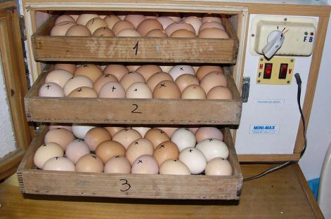 Csirke kelés folyamata